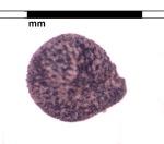 MBK Gallery 24_Caryophyllaceae,KTZ10FS10