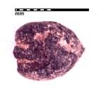 MBK Gallery 19_Panicum miliaceum,KTZ09FS6.4