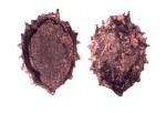 Xanthium sp., Taldy Bulak