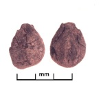 Convolvulus sp., Tashbulak