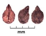 Lithospermum arvense, Tashbulak