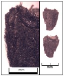 Hordeum vulgare Rachis, Tashbulak